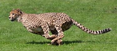 Cheetah Trading System